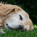 Golden Retriever Dog Sweet Dreams by Jennie Marie Schell