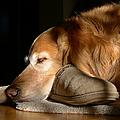 Golden Retriever Dog with Master's Slipper Print by Jennie Marie Schell