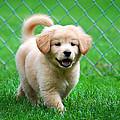 Golden Retriever Puppy by Christina Rollo