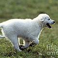 Golden Retriever Puppy by Jean-Michel Labat