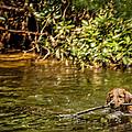 Golden Retriever Swimming by Darlene Bell