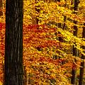 Golden Trees Glowing Print by Susan Candelario