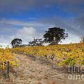Golden Vines by Mike  Dawson