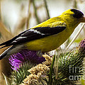 Goldfinch Atop A Purple Thistle by Darleen Stry