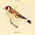 Goldfinch by Philip Ralley