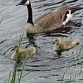 Goose Plus Two by Denise White