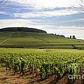 Grand Cru And Premier Cru Vineyards Of Aloxe Corton. Cote De Beaune. Burgundy. by Bernard Jaubert