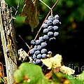 Grape Harvest by Neal  Eslinger