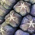 Grape Hyacinth Detail by Jane Rix
