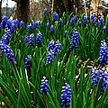 Grape Hyacinths by Julie Dant