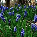 Grape Hyacinths Print by Julie Dant