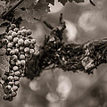 Grapes In Grey 1 by Clint Brewer