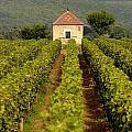 Grapevines. Premier Cru Vineyard Between Pernand Vergelesses And Savigny Les Beaune. Burgundy. Franc by Bernard Jaubert