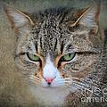 Gray Tabby Cat by Jai Johnson