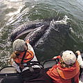 Gray Whale Calf And Tourists Baja by Flip Nicklin