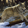 Gray Wolf - Just For Fun by Crista Forest