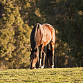 Grazing Horse At Sunset by Michelle Wrighton