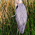 Great Blue Heron by Edward Fielding