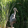 Great Blue Heron by Ellen Henneke