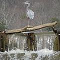 Great Blue Heron on Waterfall