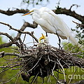 Great Egret Chicks - Sibling Rivalry by Carol Groenen