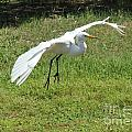 Great Egret Landing by Theresa Willingham