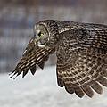 Great Grey Owl In Flight by Jakub Sisak