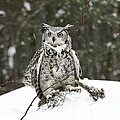 Great Horned Owl In A Winter Snow Storm by Inspired Nature Photography Fine Art Photography