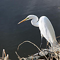 Great White Egret by Juan Romagosa