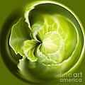 Green Cabbage Orb by Anne Gilbert