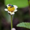 Green fly on flower