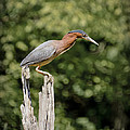 Green Heron on Stump