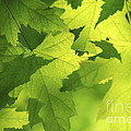 Green Maple Leaves by Elena Elisseeva