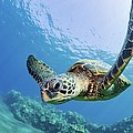 Green Sea Turtle - Maui by M Swiet Productions