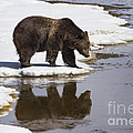 Grizzly Bear Reflected In Water by Mike Cavaroc