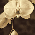 Hanging Orchid by Garry Gay