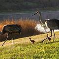 Happy Sandhill Crane Family by Carol Groenen