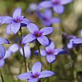 Happy Tiny Bluet Wildflowers by Kathy Clark