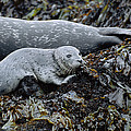Harbor Seal Pup Resting by Suzi Eszterhas