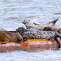 Harbour Seals Lounging by Sharon Talson
