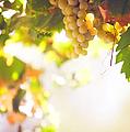 Harvest Time. Sunny Grapes I by Jenny Rainbow