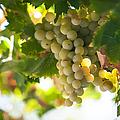 Harvest Time. Sunny Grapes Iv by Jenny Rainbow
