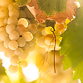 Harvest Time. Sunny Grapes VI Print by Jenny Rainbow