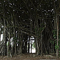 Hawaiian Banyan Tree - Hilo City by Daniel Hagerman