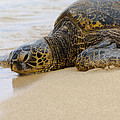 Hawaiian Green Sea Turtle 3 by Brian Harig