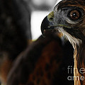 Hawk Eye by Steven  Digman