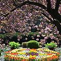 Heavens gate tulips