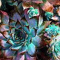 Hens And Chicks Series - Verdigris by Moon Stumpp