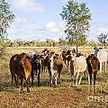 Herd Of Brahman Cattle In Outback Queensland by Colin and Linda McKie
