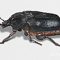 Hermit Beetle - Russian Leather Beetle - Osmoderma Eremita - Pique Prune - Erakkokuoriainen by Urft Valley Art